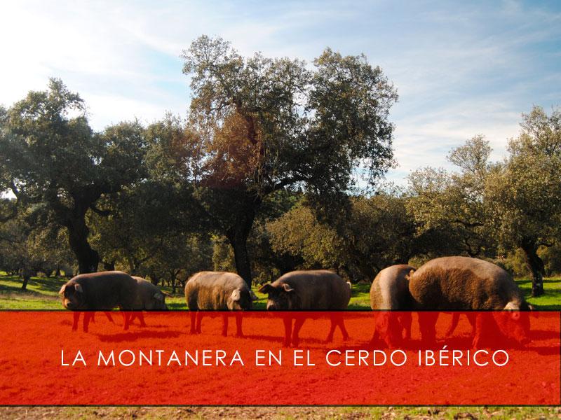 la montanera en el cerdo iberico